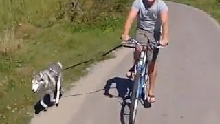 Siberian Husky dog pulling bike