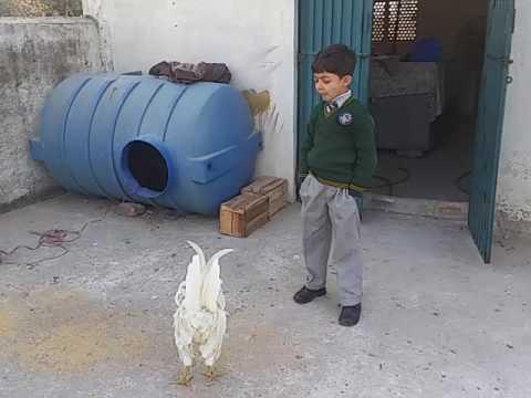 Child fight with chicken