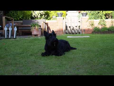 Scottish Terrier Training Video - Tricks Reggie can do