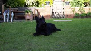 Scottish Terrier Training Video - Tricks Reggie can do