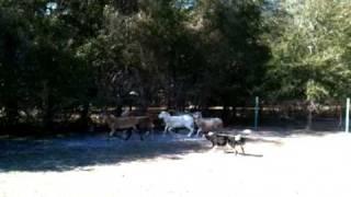 Rocket's First Sheep Herding Class!