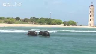 На Шри Ланке спасли двух слонов, которых унесло в открытое море