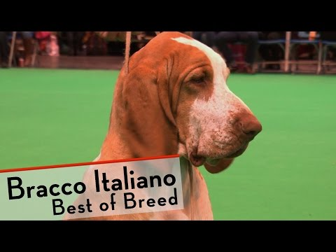 Crufts 2015 - Bracco Italiano - Best of Breed