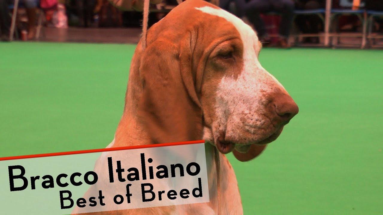 Bracco Dog Breed