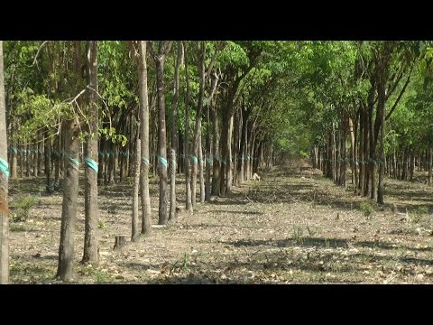Southeast Asia '13 - Vietnam - rubber tree plantation in the Phu My district