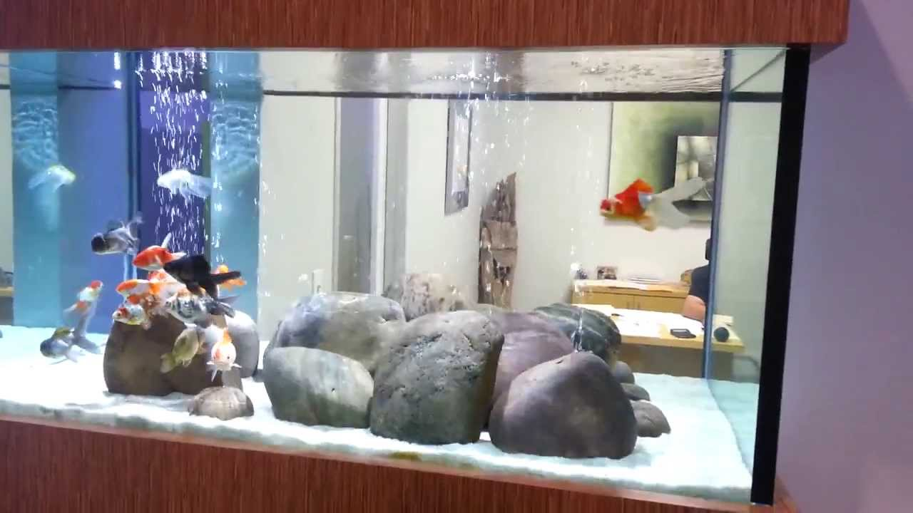Fish in tank with goldfish - Gold Fish Tank At Aquarium Design Group In Houston Texas