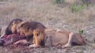 ライオンvsハイエナ永遠バトル!Lion vs Hyena!#2.