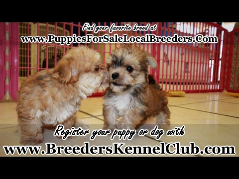 GOLD MORKIE PUPPIES FOR SALE GEORGIA LOCAL BREEDERS
