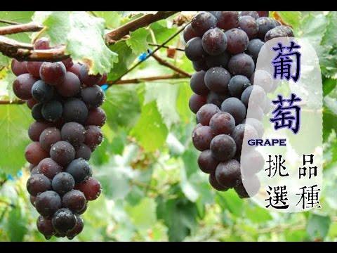 【冬】葡萄如何挑選才好吃?