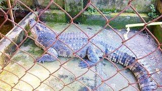 Đuổi cá sấu ra khỏi chuồng và kết quả