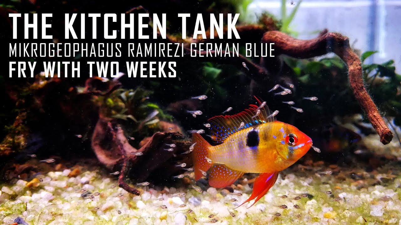 KITCHEN TANK - FRY OF MIKROGEOPHAGUS RAMIREZI GERMAN BLUE - 2 WEEKS