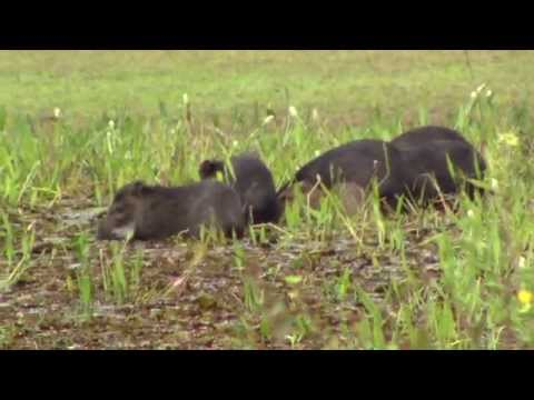 White-Lipped Peccary eating aquatic plants