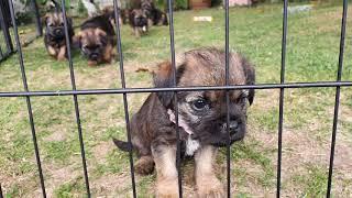 Border Terrier Puppies  almost 7 weeks