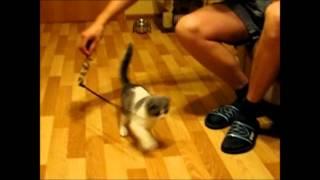 Вислоухий шотландский котенок мальчик питомник Greycat www.grey-cats.ru