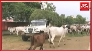 Centre Plans Aadhaar Like UID Number For Cows To Stop Cattle Smuggling