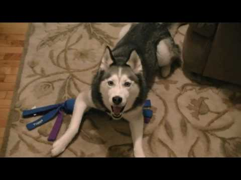 Siberian Husky Dog says I Love You Talking Dog