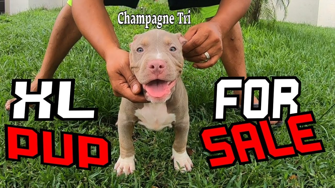 XL Champagne Tri American Bully Puppy For Sale (( When Quality Matters))