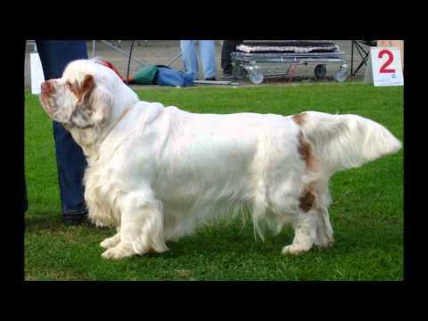 Кламбер   Спаниель/Clumber Spaniel (порода собак HD slide show)!