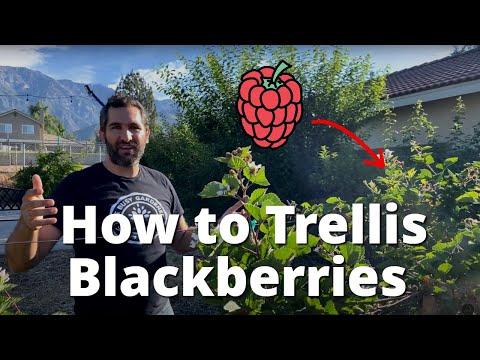 How To Trellis Blackberries | 2 Wire Trellis For Blackberry, Raspberries, Boysenberries, Etc