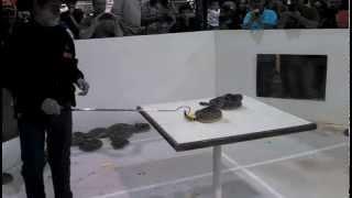 rattlesnake roundup 2015 -Sweetwater Texas - rattlesnake strike