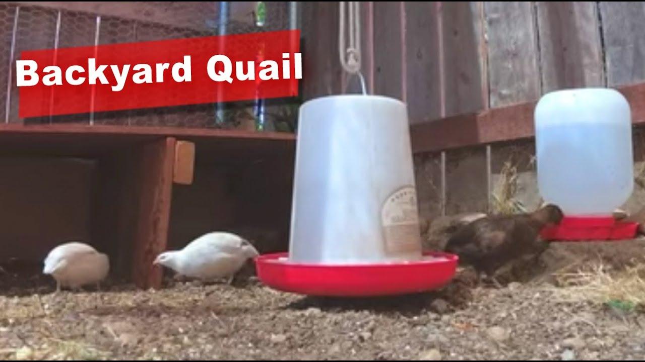 Raising Backyard Quail in San Diego #1 - YouTube
