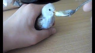 Выкармливание птенца волнистых попугаев.
