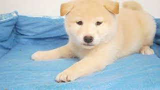 Coo&RIKU No360872 柴犬 thumbnail