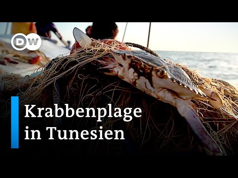 Tunesien: Invasive blaue Krabbe wird zur Delikatesse | Global Ideas