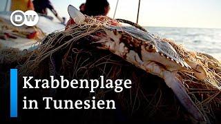 Tunesien: Invasive blaue Krabbe wird zur Delikatesse | Global Ideas