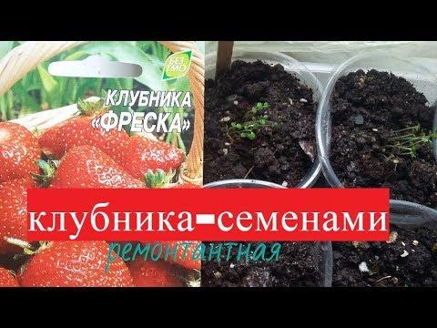 клубника Фреска из семян