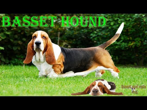 Basset hound sings with a guitar. Compilation