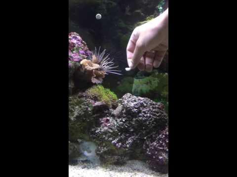 Hand Feeding A Radiata Lionfish
