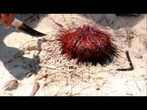 Large sea urchin opening in Bohol
