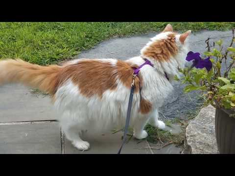 Turkish Van Cat Personality Traits & Facts