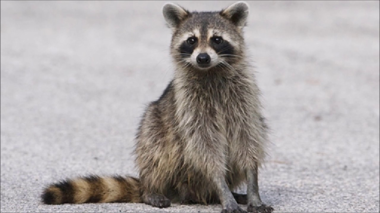 animal sounds racoon chitters youtube