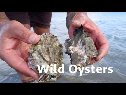 Eating Wild Oysters Gathered in Mud - Cockles