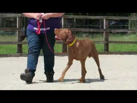 Brian - Hungarian Wirehaired Vizsla - 4 Weeks Residential Dog Training at Adolescent Dogs