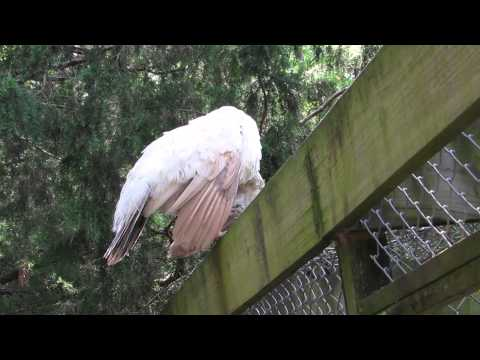 Explanation of Albinism vs Leucism in Peafowl Magnolia Plantation, Charleston, SC