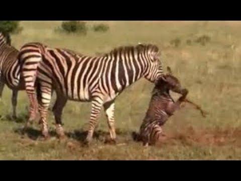 Zebra kills baby birth amazing sight video three parts Original version