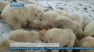 видео: На архипелаге Новая Земля ввели режим чрезвычайной ситуации из за нашествия белых медведей