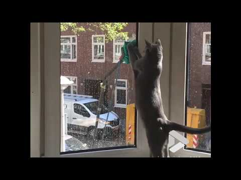Russian Blue cat takes on window cleaner || Viral Video UK