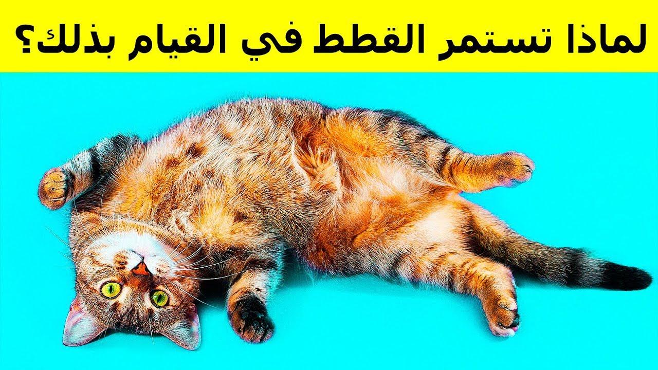 لماذا تستلقي القطط على ظهرها عند رؤيتك Youtube