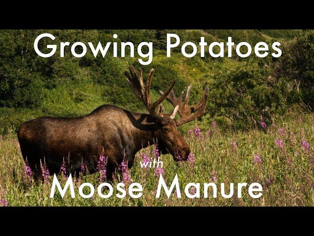 Growing Potatoes in Moose Manure