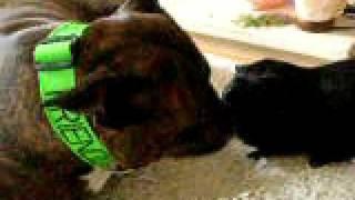 Staffie Staffordshire Bull Terrier And Guinea Pig Kissing. Http://www.friendlydogcollars.co.uk/