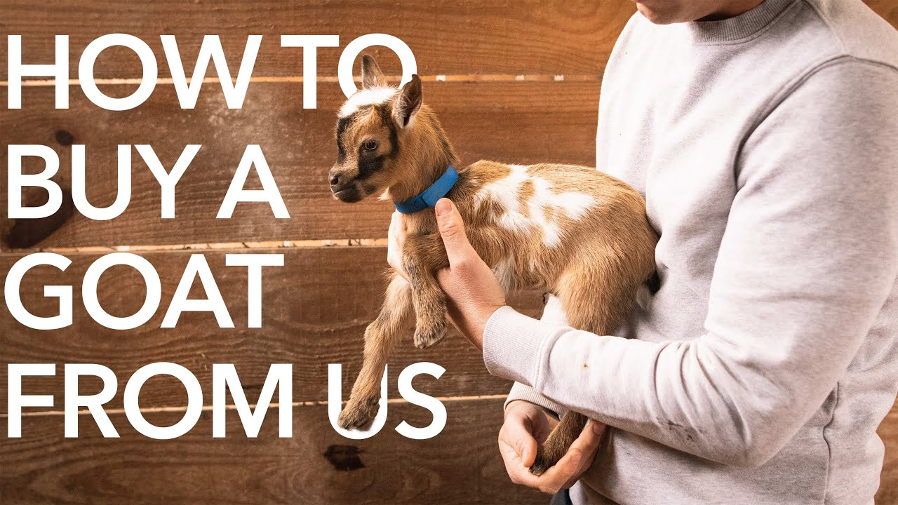 How to Buy a Goat from Us