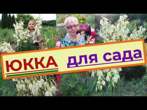 Юкка нитчатая (Yucca filamentosa) садовая, уход, размножение и пересадка