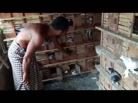Pigeon Releasing Clip || Momin Pigeons House || Unique Pigeon House.