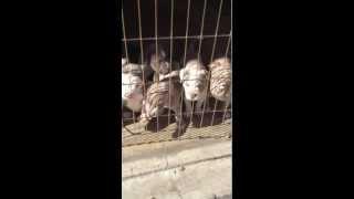 ukc abkc registered pitbull pups