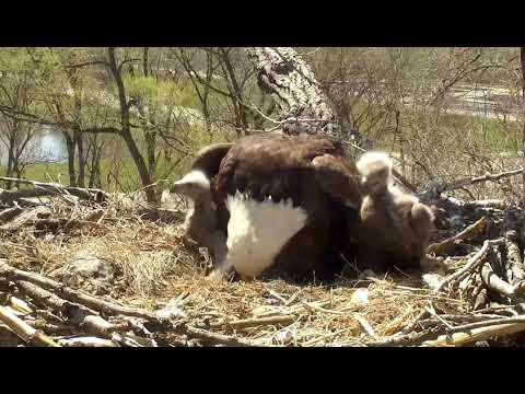 Decorah Eagles 4-23-19, 1:15 pm Eaglet size comparison