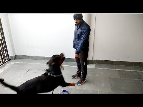 Bolt super excited for morning walk : [ Rottweiler : Bolt ]